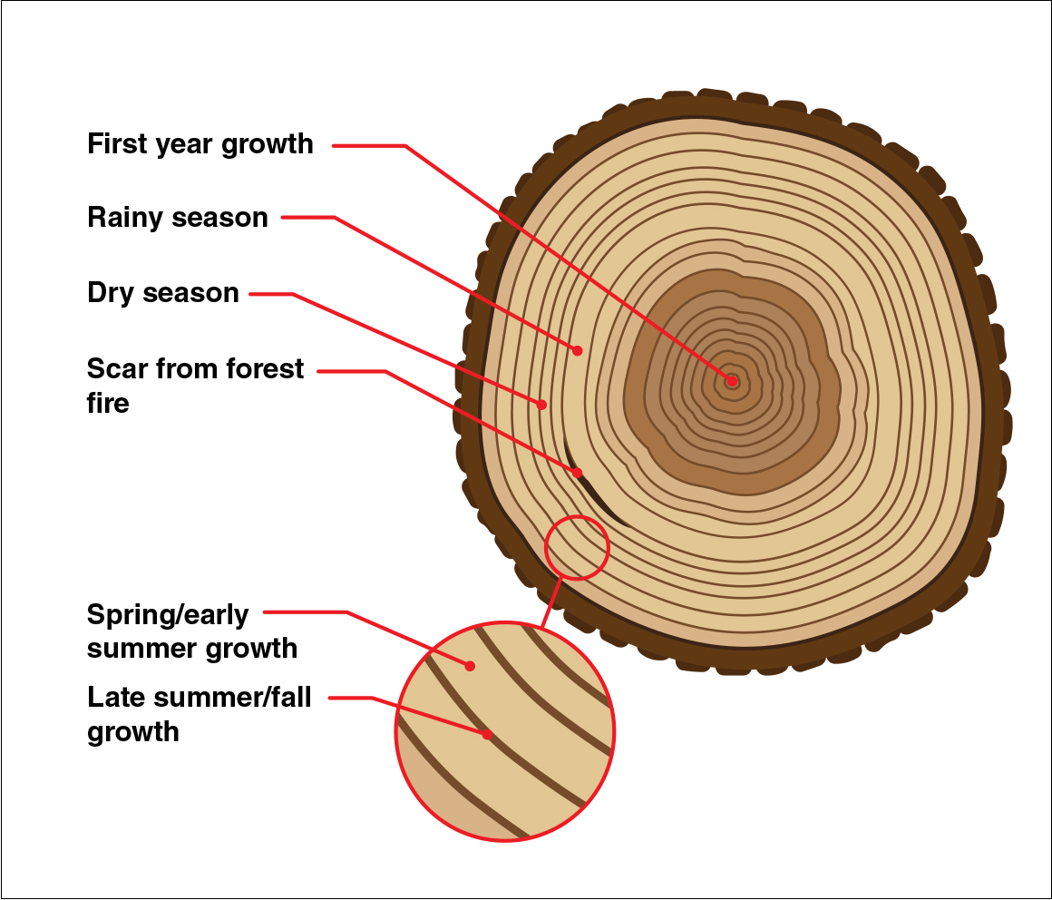 A crosscut of a tree showing rings labels show dry seasons and wet seasons