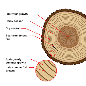 Graphic of a tree crosscut showing rings